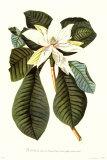 Magnolia Folis Oblongis Poster by Georg Dionysius Ehret