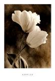 Bending Tulip Prints by Sondra Wampler