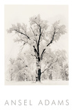 Eichenbaum Poster von Ansel Adams