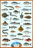 Wandkaart met overzicht zeevissen, Engelse titel: Sea fish Foto