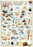 Mollusks Posters