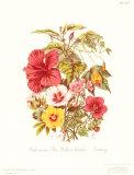 Malvaceae 高品質プリント : トワイニング