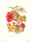 Malvaceae Prints by  Twining