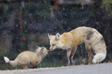 A Mother Red Fox, Vulpes Vulpes, and Kit Nuzzle Each Other Fotografisk tryk af Barrett Hedges