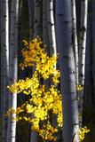 Sunlight on a Small Golden Aspen Tree Among Larger Tree Trunks Fotografisk tryk af Robbie George