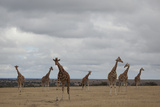 Seven Giraffes Stand Tall in the Laikipia Plains of Kenya Photographic Print by Robin Moore