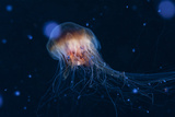 A Lion's Mane Jellyfish Drifts in the Current Photographic Print by Mauricio Handler