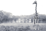 A Rothschild Giraffe in Front of Giraffe Manor on a Misty Morning Photographic Print by Robin Moore