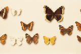 A Collection of Butterfly Specimens From Northern California Photographic Print by Rebecca Hale