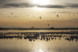 A Large Flock of Silhouetted Ross's Geese at Rest and in Flight, at Twilight Impressão fotográfica por Marc Moritsch