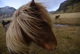 Portrait of An Icelandic Horse in a Pasture Fotografisk tryk af Raul Touzon