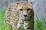 Portrait of a Female Cheetah, Acinonyx Jubatus Lámina fotográfica por Karine Aigner