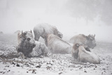 Bison Resting in a Snowstorm 写真プリント : トム・マーフィ