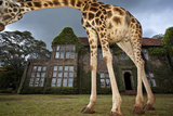 A Rothschild Giraffe Frames Giraffe Manor with Its Neck Photographic Print by Robin Moore