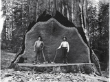 A Giant Sequoia Felled by Loggers in the Early 1900's Fotografisk tryk af  National Park Service