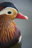 A Mandarin Duck Drake on Water Photographic Print by Bob Smith