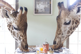 Two Giraffes Have Breakfast at Giraffe Manor in Nairobi, Kenya Fotografie-Druck von Robin Moore