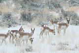 Pronghorns, Antilocapra Americana, Foraging During a Snowstorm Fotografisk tryk af Tom Murphy