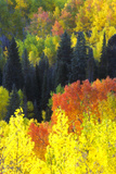 Evergreen Trees, Aspens, and Others in Brilliant Autumn Hues Fotografisk tryk af Robbie George