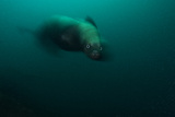 A Curious Steller Sea Lion Stares at the Photographer Photographic Print by Mauricio Handler