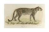 A Male Leopard Giclee Print