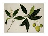 Mango Tree Impressão giclée