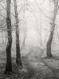 Birch Path Photographic Print by Craig Roberts