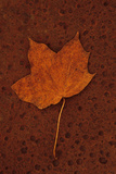 Autumn Leaf On Rust Fotografisk trykk av Den Reader