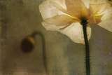 White Poppy with Little Friend Photographic Print by Mia Friedrich