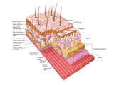 Anatomy of the Human Skin Photographic Print by Stocktrek Images