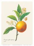 Orange Fruit - From the Book: Choix des Plus Belles Fleurs Plakater av Pierre-Joseph Redouté