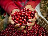 Pickers, Hands Full of Coffee Cherries, Coffee Farm, Slopes of the Santa Volcano, El Salvador Fotografie-Druck von John Coletti