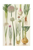 Onions and Other Vegetables Giclée-tryk af Elizabeth Rice