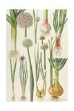 Onions and Other Vegetables Giclée-Druck von Elizabeth Rice