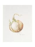Onion Study, 1993 Lámina giclée por Alison Cooper
