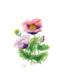 Opium Poppy, 2001 Giclee Print by Nell Hill