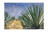 Agaves with Blue Sky, 2004 Stampa giclée di Pedro Diego Alvarado