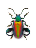 Frog Leg Beetle Photographic Print by Christopher Marley