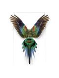 Red Rump Parakeet Lámina fotográfica por Christopher Marley