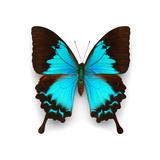 Ulysses Swallowtail Fotografisk tryk af Christopher Marley