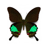 Karna Swallowtail Photographic Print by Christopher Marley