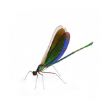 Philippine Damselfly Photographic Print by Christopher Marley