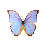 Morpho Godarti Photographic Print by Christopher Marley