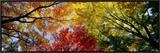 Árvores coloridas no outono, visão de baixo ângulo Impressão em tela emoldurada