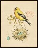 Gilded Songbird 2 Framed Canvas Print by Chad Barrett