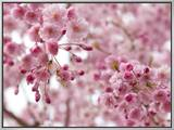 Looking Up at Flowering Branches of a Weeping Higan Cherry Tree 額入りキャンバスプリント : ダーリン A. ムラウスキー