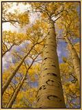 Looking Up at Towering Aspen Trees in Autumn Hues Impressão em tela emoldurada por Ralph Lee Hopkins