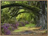 Coast Live Oaks and Azaleas Blossom, Magnolia Plantation, Charleston, South Carolina, USA Impressão em tela emoldurada por Adam Jones