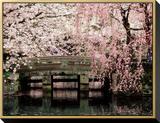 Cherry Blossoms, Mishima Taisha Shrine, Shizuoka Framed Canvas Print