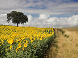 Field of Sunflowers with Holm Oaks Metalltrykk av Felipe Rodriguez